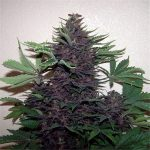 purple kush autoflower