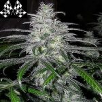 Black domina fast version wietzaden