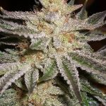 Sourness kush
