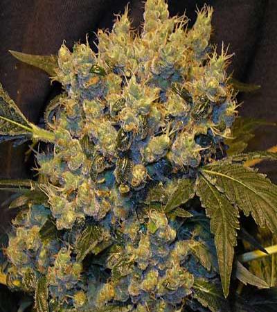 372_chronic-serious-seeds-cannabisgreen