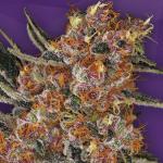purple punch wietzaden