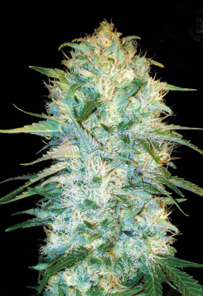 blumon autoflower